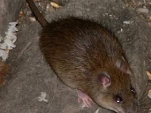 Крысы резвятся в доме на улице Харлова
