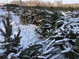 Тысяча молодых деревьев пала от пил алчного коммерсанта в Сосновском районе