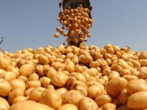 60 тонн картошки с возможным поражением паразитами не попали в Челябинскую область