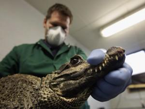 Полицейские искали боеприпасы, а нашли живого крокодила