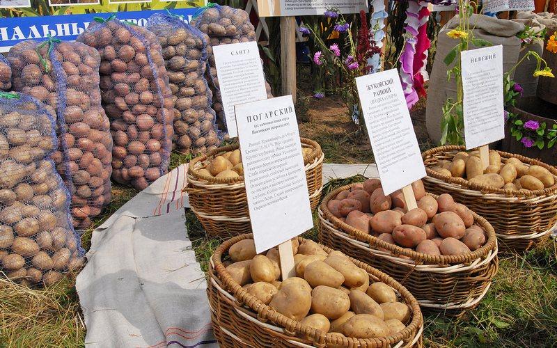 Пензенские аграрии приедут на Брянщину за «картофельным» опытом