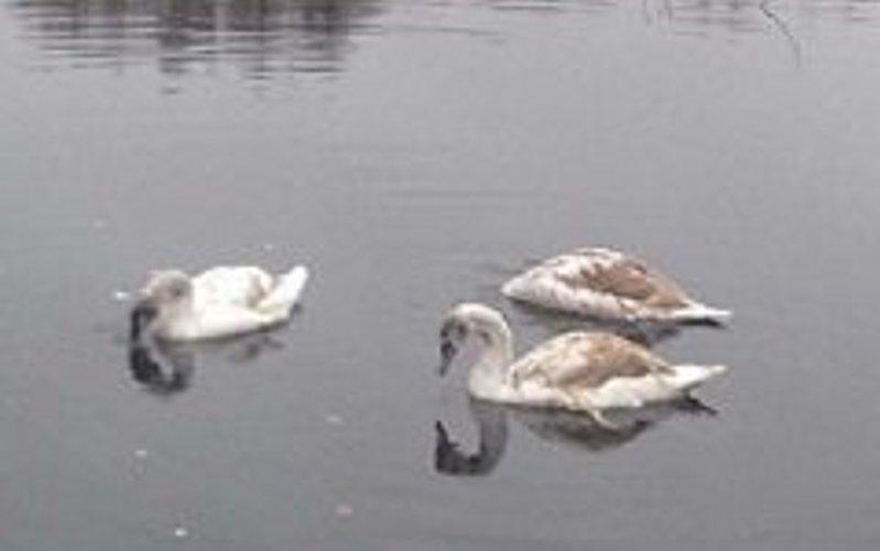 Тройка лебедей осталась на зимовку в Стародубском районе