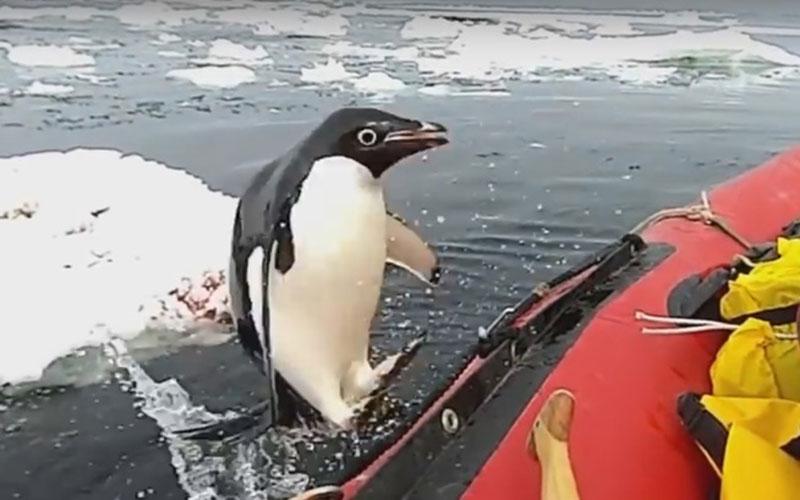 Визит любопытного пингвина кученым вАнтарктиде попал навидео