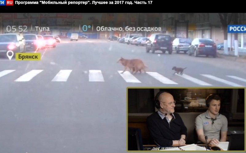 Брянские собаки на«зебре» прославились навсю Россию