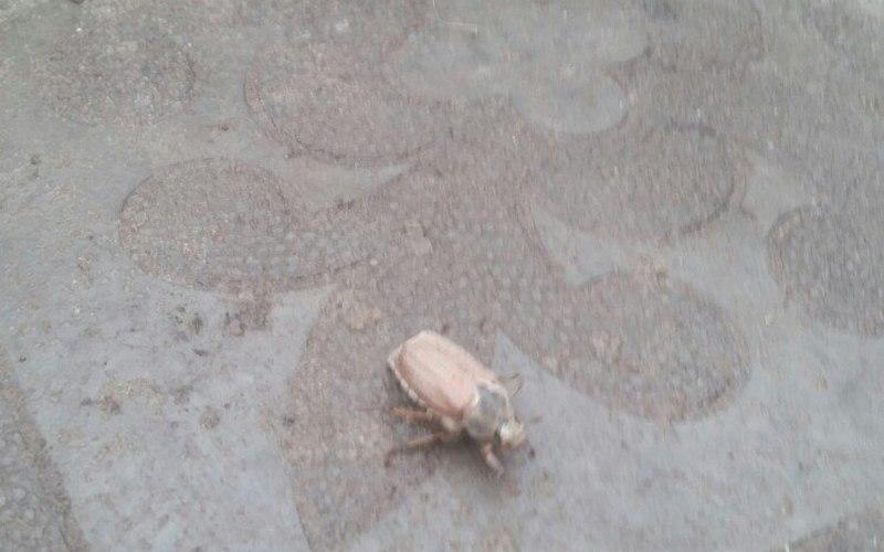 В январе в Брянске проснулись майские жуки