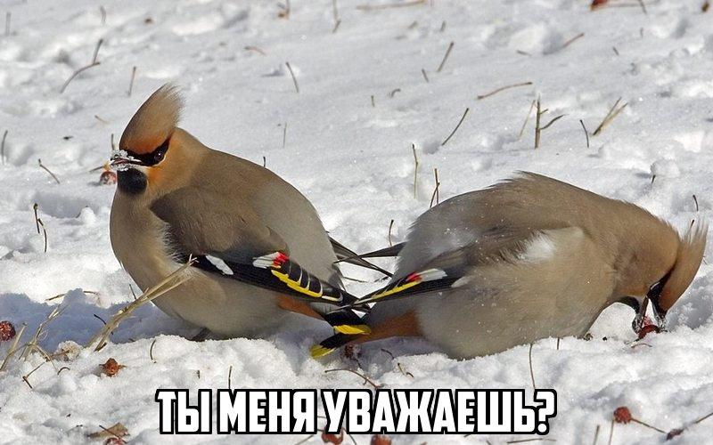 В Новосибирске с деревьев падают пьяные дрозды и свиристели