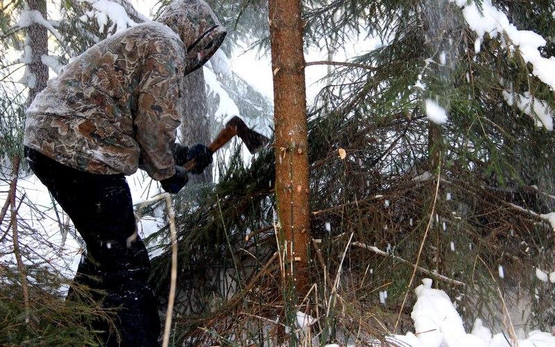 От рук новозыбковцев пала почти сотня сосен