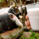В приоритете новой продовольственной программы России будет молоко