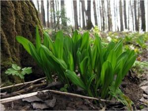 Искали черемшу, потерялись в лесу и стали замерзать