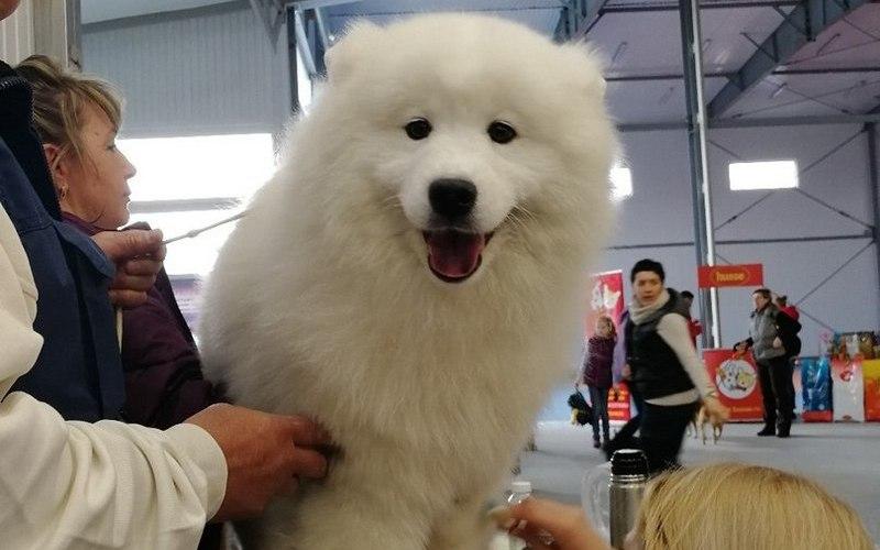 На выставке в Брянске показали 300 породистых собак