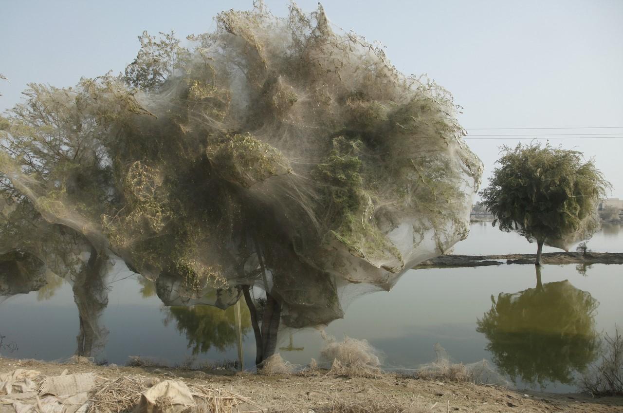 Умирает лес: гусеницы покрыли паутиной лес целиком