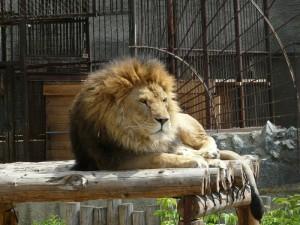 Как рычит лев. Сотрудники зоопарка в Челябинске занялись просвещением, увидев видео в Инстаграм