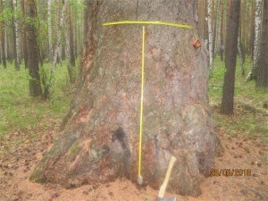 400-летняя лиственница обладает большой целебной силой