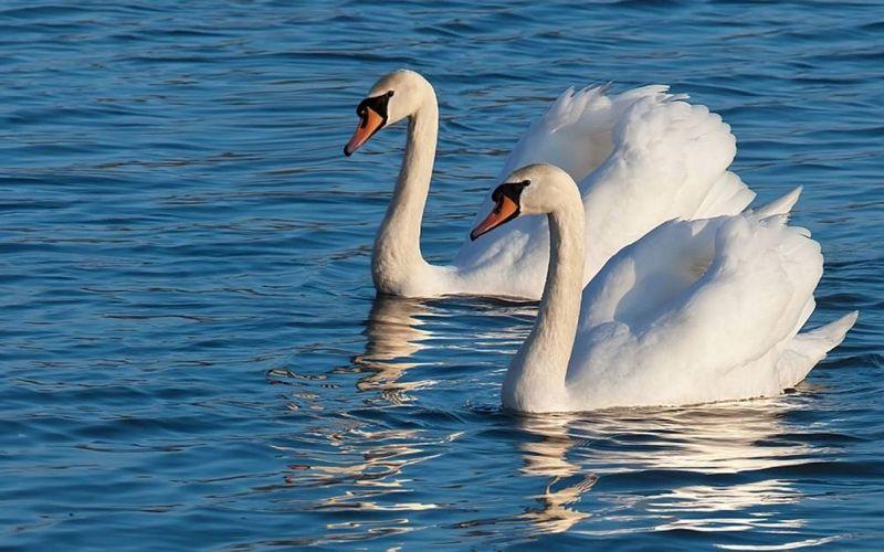 На озере в Белых Берегах поселились лебеди