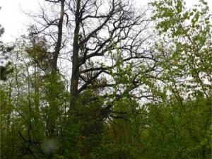 100-летние дубы растут на Южном Урале