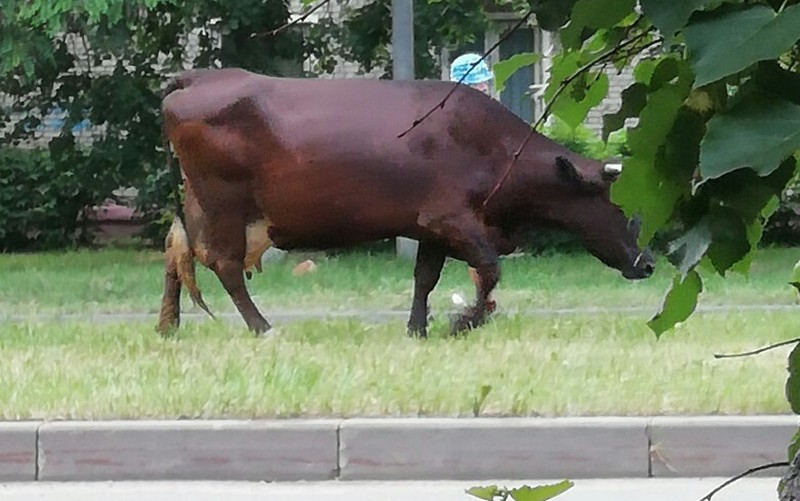 Корова на газоне вызвала интерес у брянцев