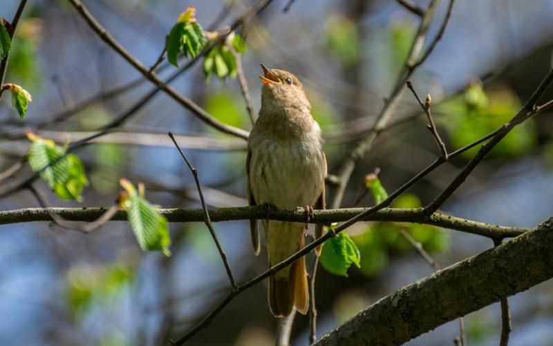 В Брянской области насчитали более 350 мест обитания соловьев