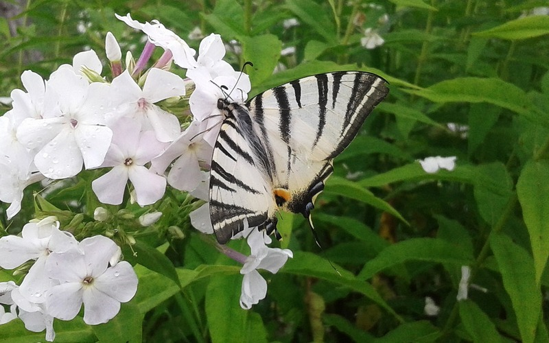 В Брянской области заметили редкую бабочку