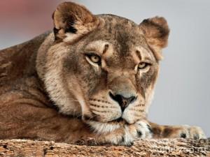Пума выиграла «конкурс красоты» в зоопарке