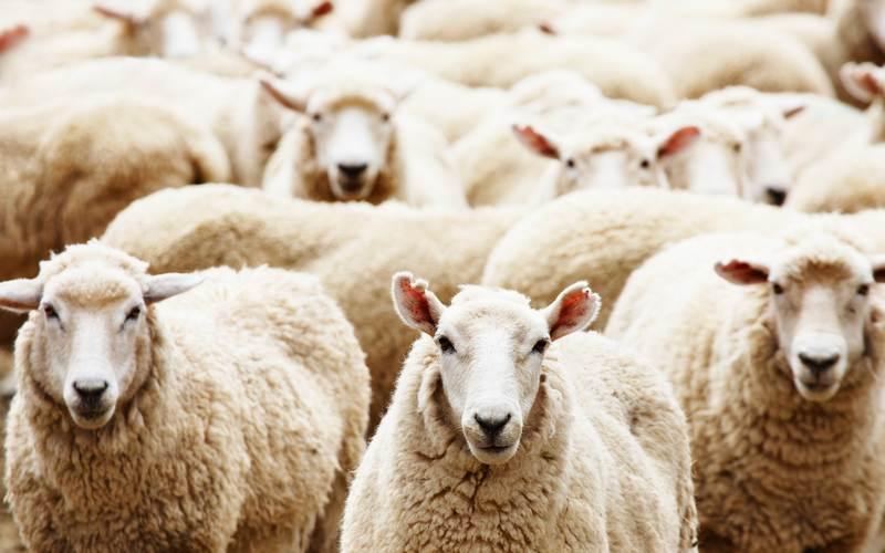 Дятьковская пастушка соблазнилась чужими деньгами