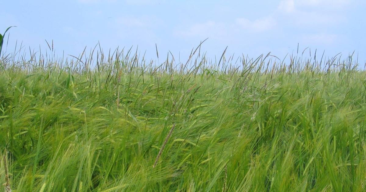 Брянские посевные земли зарастают сорняками