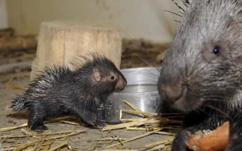 В зоопарке Брянска на свет появились детеныши дикобразов