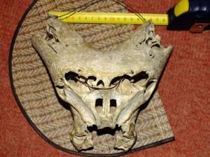 Таинственные черепа «инопланетян» и след «Аненербе»