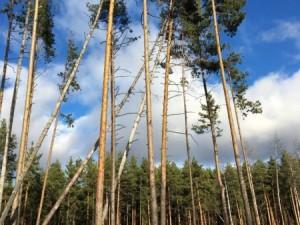 Падающие старые деревья угрожают гуляющим в сосновом бору Челябинска