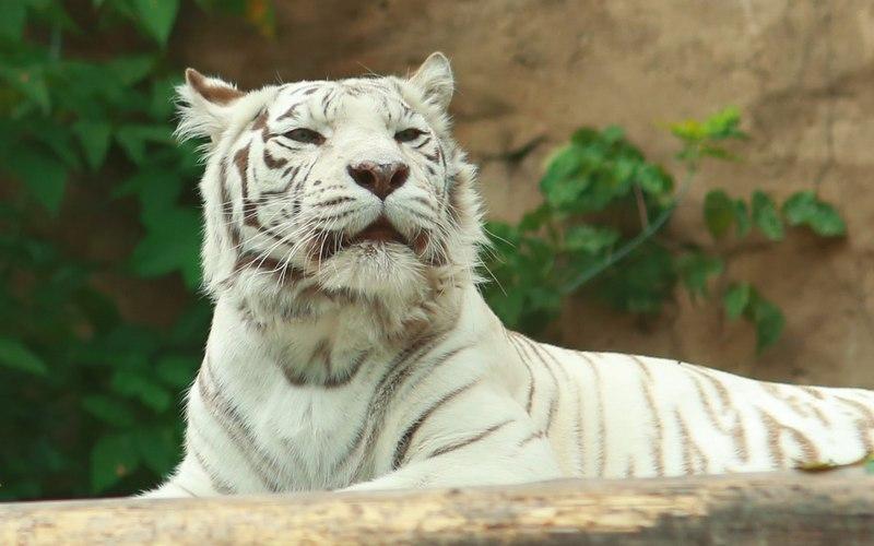 Белый тигр убил смотрителя зоопарка
