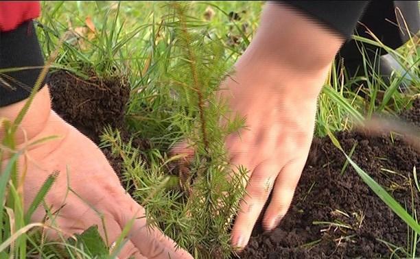 Брянские волонтеры высадили более 4000 сеянцев сосны