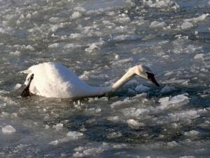 Погибающего лебедя спасли на озере Увильды