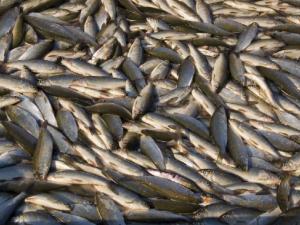 Рыбы на миллион рублей украл директор предприятия