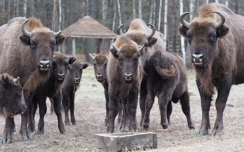 Заповедник «Брянский лес» позвал наэкскурсии кзубрам