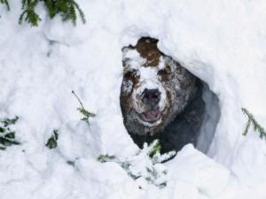 Медведь-шатун пугает жителей Снежинска