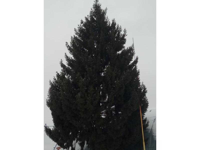 Жители Брянска выбрали главную елку города