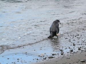 Выход Великобритании из ЕС ударит по безопасности пингвинов