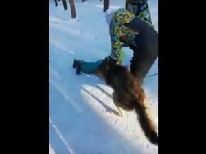Нападение волка на ребенка в челябинском парке проверяет полиция