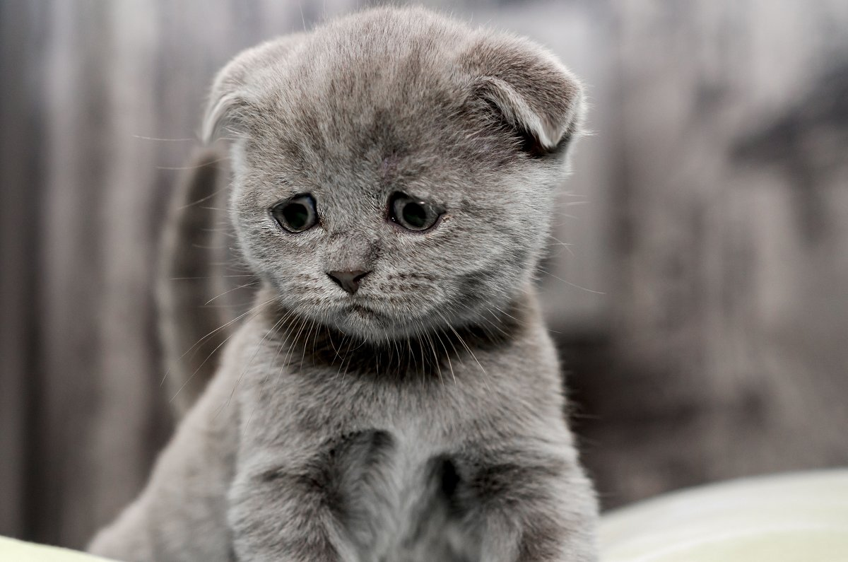 Мошенник обманул продавца котят на 5500 рублей