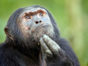 Видеокамера зафиксировала побег шимпанзе из зоопарка