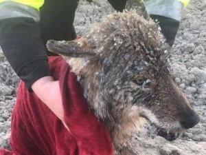Эстонские строители спасли тонущую собаку, оказавшуюся диким волком