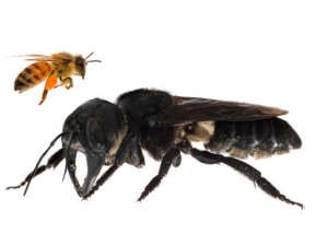 Гигантскую пчелу, считавшуюся вымершей, сняли на видео