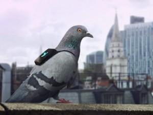 В Британии голубям надели рюкзачки
