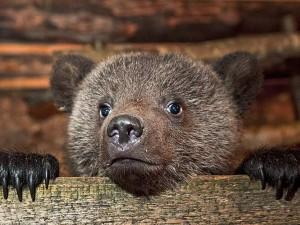 За спасение медвежонка женщину отправили за решетку