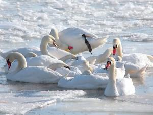 Стая белых лебедей обживает пруд в центре Челябинска