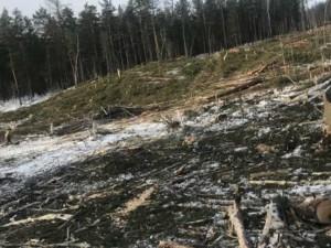 Спилив 100 гектаров леса, золото искать передумали