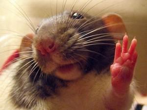 Мгновенно снять симптомы алкоголизма лазером смогли биологи у подопытных крыс