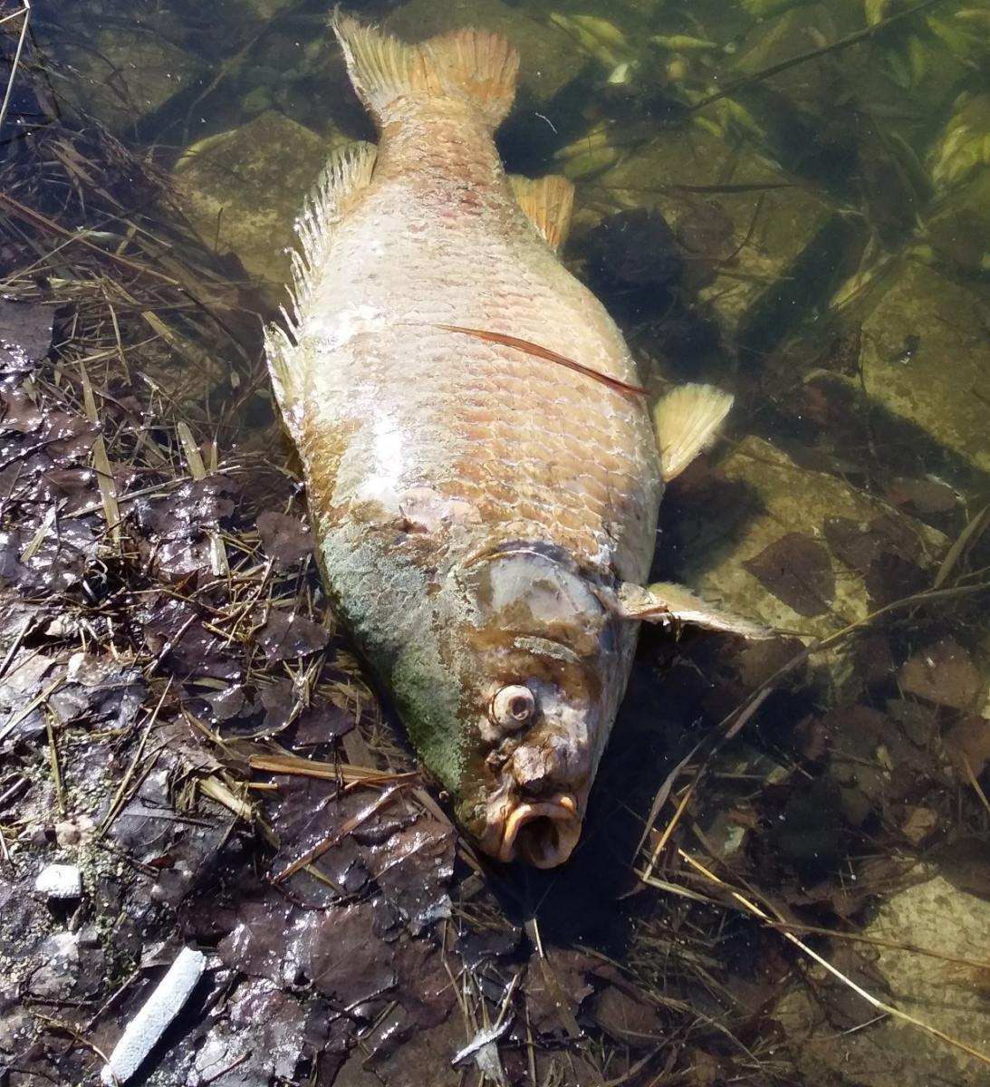 В Севском районе погибает рыба в озере