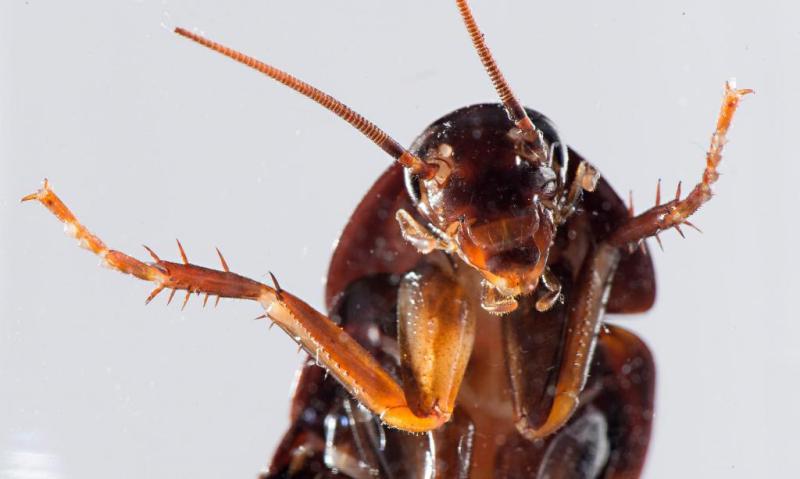 Дерзкий таракан атаковал мясо в брянском гипермаркете
