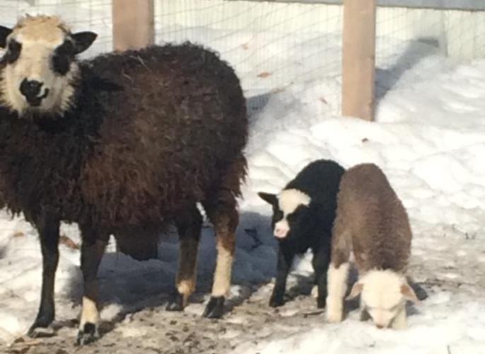 В Брянском зоопарке родилось двое ягнят