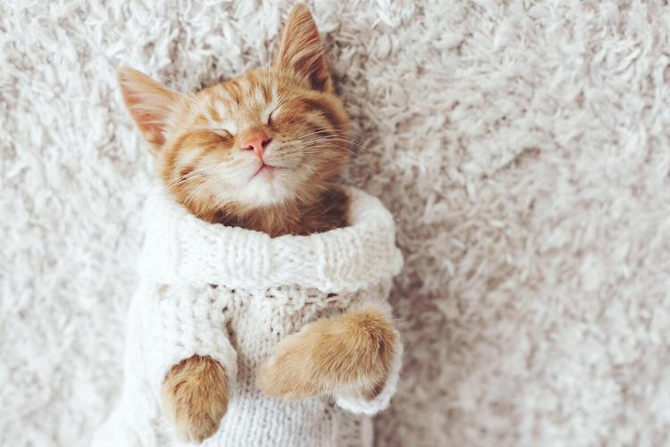 Брянцы могут забрать котят из приюта на благотворительной выставке